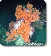 photo of rockfish in primnoa coral