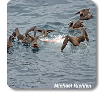 photo of group of albatross feeding