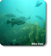 photo of fish in kelp forest