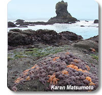 photo of a tidepool filled with starfish
