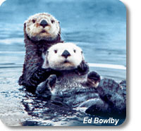 photo of two sea otters in the water