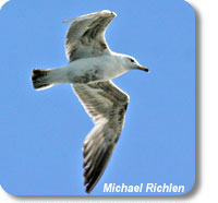photo of a seabird flying