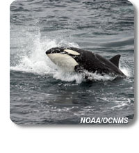 photo of an orca whale