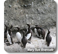 photo of common murres on cliffs