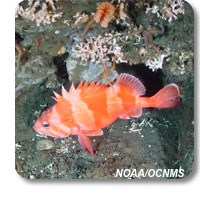 photo of rockfish and coral