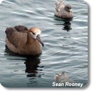 A Black-footed Albatross and two Northern Fulmars sitting on water