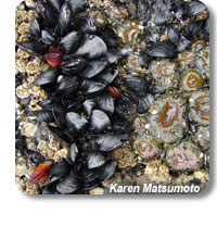 photo of a mussel bed
