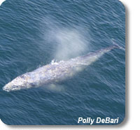 photo of a gray whale near Cape Flattery