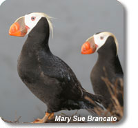 photo of tufted puffins