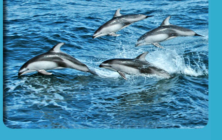 Photo of Pacific White-Sided Dolphins swimming in the ocean
