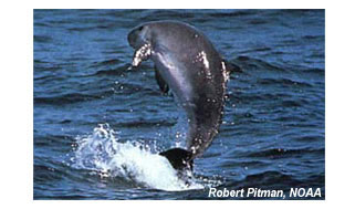 pigmy-sperm-whale